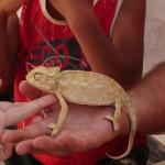 Mazimo kameleona